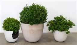 Sale 9130H - Lot 83 - A Japanese Buxus in a composite pot together with two smaller examples. Largest height of pot 54cm (Damages)