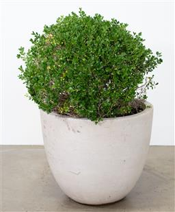 Sale 9130H - Lot 82 - A Japanese Buxus in a composite pot, Largest height of pot 54cm