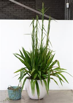 Sale 9130H - Lot 84 - A large composite pot with cordyline Banskii plant. Height of pot. 63cm