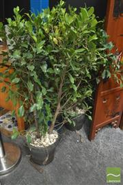 Sale 8299 - Lot 1013 - Pair of Hedging Ficus Plants