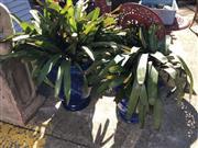 Sale 8801 - Lot 1528 - Pair Of Blue Glazed Ceramic Pots With Potted Bromeliads