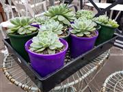 Sale 8740 - Lot 1210 - Collection of Succulents