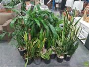 Sale 8620 - Lot 1041 - Collection of Indoor Plants