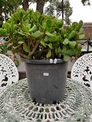 Sale 8740 - Lot 1198 - Potted Money Tree