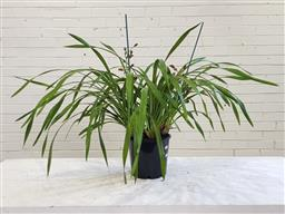 Sale 9174 - Lot 1317 - Two spikes cymbidium orchid in burgundy (28cm)