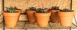 Sale 9191W - Lot 497 - A set of 6 small terracotta potted planters. Planted with cyclamens H.15cm