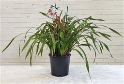 Sale 9174 - Lot 1325 - Two spikes cymbidium orchid in burgundy (h54cm)
