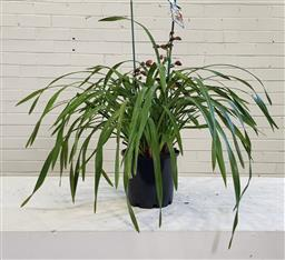 Sale 9174 - Lot 1284 - Two spikes cymbidium orchid in burgundy (h60cm)