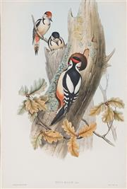Sale 9013A - Lot 5076 - John Gould (1804 - 1881) - PICUS MAJOR: Great Spotted Woodpecker 49 x 34.5 cm (frame: 78 x 63 x 4 cm)