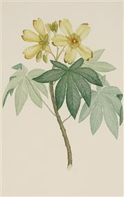 Sale 8870 - Lot 2053 - S. Parkinson & F.P.Nodder - Cochlospermum Gillivraei (Kapok Tree) 1770 (from Banks Florilegium) 46 x 29.5 cm