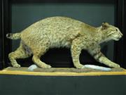 Sale 8331A - Lot 565 - Taxidermy Bobcat, mounted