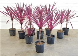 Sale 9174 - Lot 1453 - Collection of pink passion cordyline (h90cm)