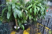 Sale 8338 - Lot 1395 - Large Collection Of Indoor Plants