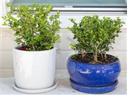 Sale 8595A - Lot 81 - A white ceramic jardinière with saucer, H 23cm, planted with buxus, together with a blue example (in central courtyard)
