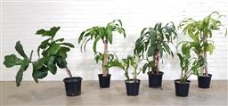Sale 9174 - Lot 1003 - Collection of indoor plants (h110cm)