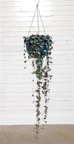 Sale 9174 - Lot 1311 - Chain of hearts hanging plant (L;86cm)