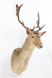 Sale 8261A - Lot 46 - A shoulder mounted fallow deer, H95cm D58cm