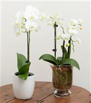 Sale 8838H - Lot 29 - Two potted orchids in white