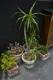 Sale 8105 - Lot 1007 - Collection of Succulents