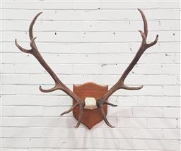 Sale 9134 - Lot 1486 - Mounted New Zealand red deer antlers (h:100cm)