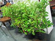 Sale 7937A - Lot 1164 - Collection Of Outdoor Plants
