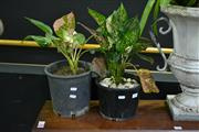 Sale 8031 - Lot 1005 - 2 Small Plants