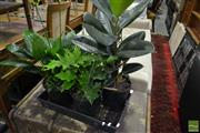 Sale 8499 - Lot 1686 - Tray of Small Indoor Plants