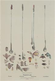 Sale 8773A - Lot 5010 - R.D. Fitzgerald (4 works) - Four Plates from Australian Orchids 46 x 31cm