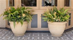 Sale 9248H - Lot 34 - A pair of large sandstone coloured planters containing Aspidistra. Height 55 x depth 70cm