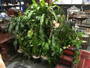 Sale 8795 - Lot 1042 - Collection of Indoor Plants