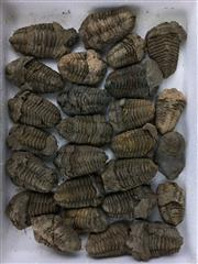 Sale 8567 - Lot 715 - Dicalymene Trilobites, North Africa (28); t/w associated books