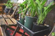 Sale 8338 - Lot 1452 - 2 Trays of Orchids