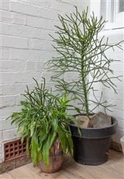 Sale 9070H - Lot 187 - Two large pots one teracotta, the other a plastic example planted with succulents, Height of largest pot 35cm