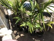 Sale 8801 - Lot 1503 - Collection of Palm Trees (4)