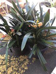 Sale 8801 - Lot 1540 - Collection of 3 Potted Clavias