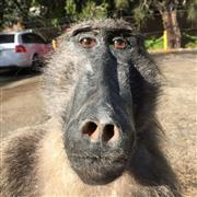 Sale 8758 - Lot 180A - Taxidermy Male Chacma Baboon, full mount (1.2m)