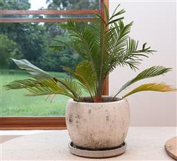 Sale 9134H - Lot 62 - A small terrazzo pot planted with a cycad, diameter 29cm