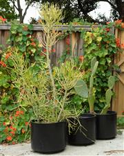 Sale 9070H - Lot 204 - Three circular black plastic pots, planted with succulents and cactus, Height of pot 37cm x Diameter 44cm
