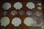 Sale 8338 - Lot 1135 - Collection Of Various Shells