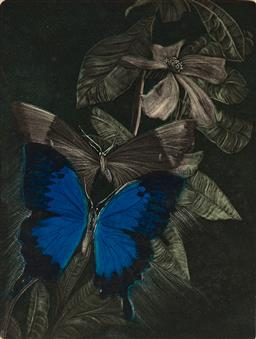 Sale 9256A - Lot 5004 - PAMELA GRIFFITH (1943 - ) Ulysses Butterfly on Hibbertia Scandens handcoloured etching and aquatint, ed. 4/40 (unframed) 29.5 x 22 c...