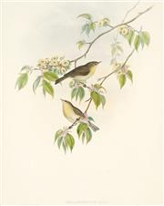 Sale 8813A - Lot 5098 - John Gould (1804 - 1881) - PHYLLOPNEUSE RUFA: Chiff-Chaff 45 x 35cm
